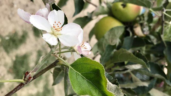 Flori de măr în luna august